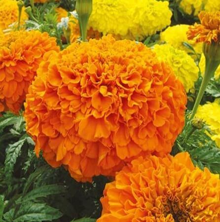 Luteine American Marigold (Afrikaantje)