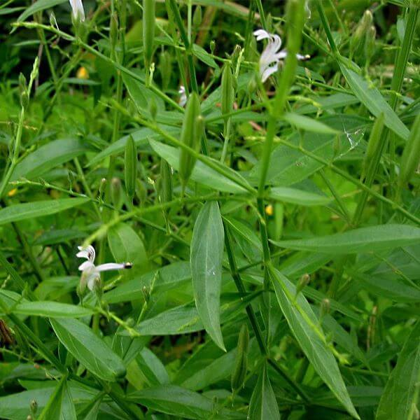 Andrographis Paniculata (King of Bitters)