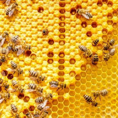 Honingpoeder