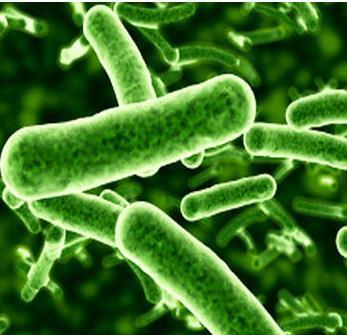 Lactobacillus Rhamnosus probiotica