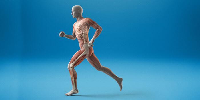 Spieren – Gewrichten – Skelet